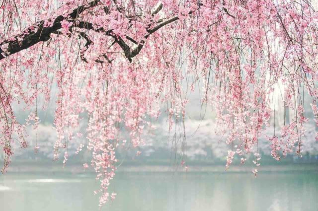 Cherry blossom hanging over river