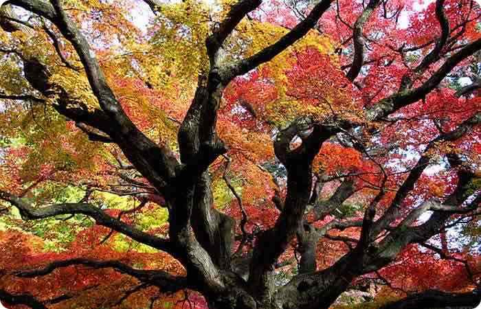 Ancient Japanese maple at Sennyoji Temple Kyushu