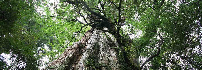 Yakushima tree