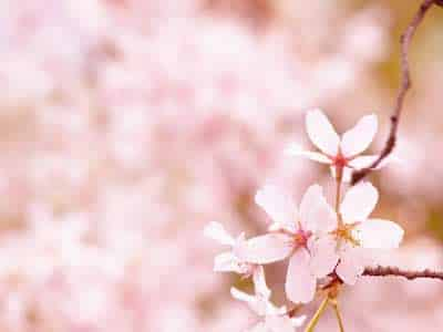 Cherry Blossom In Spring.