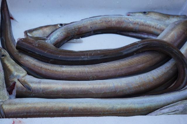 hamo-sea-eel