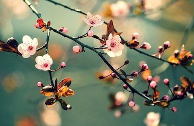 Cherry-blossom-package-kyushu