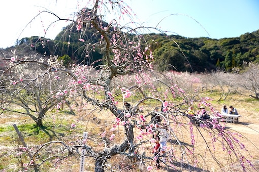 plum blossom japan