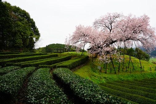 Hyakunen 100-years Sakura Tree In Ureshino (Saga)