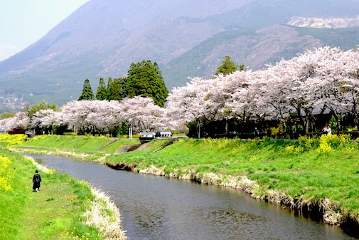 Oita Riverbank (Yufuin) In Sakura Season